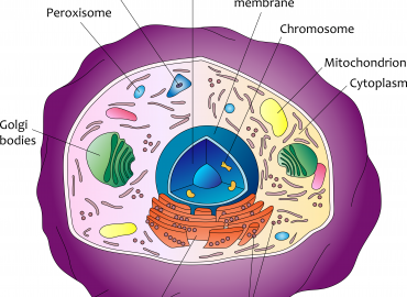 Showing mechanism of immune celll